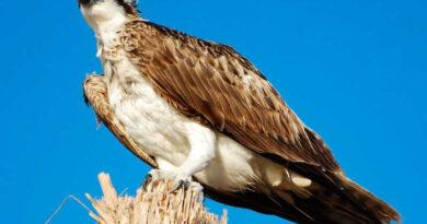 Águila pescadora o Pandion haliaetus