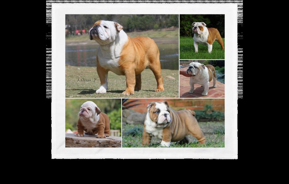 Aprende todo de los Bulldog