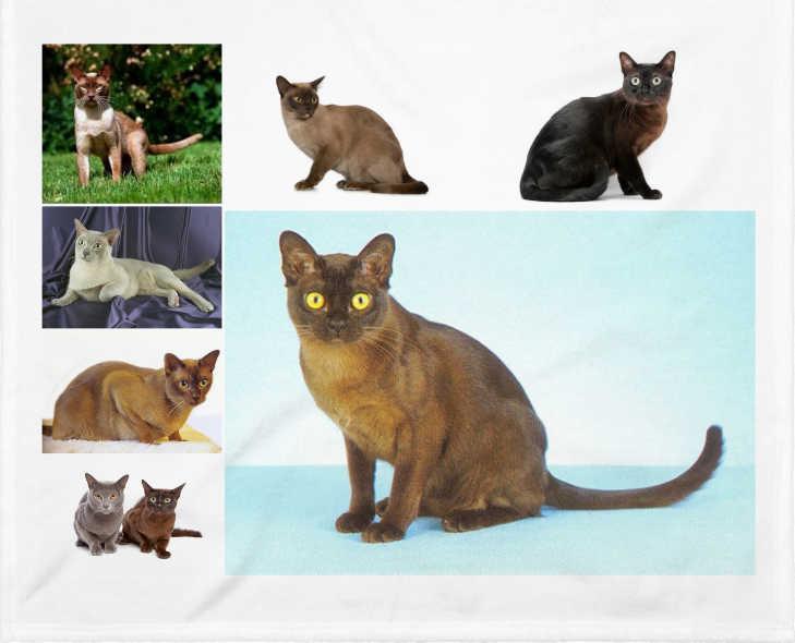 EL gato burmés o birmano