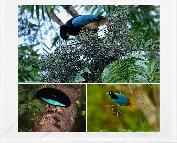 El Pájaro Azul del Paraíso