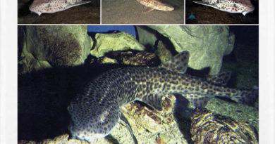 El Tiburón gato marino o Scyliorhinus stellaris