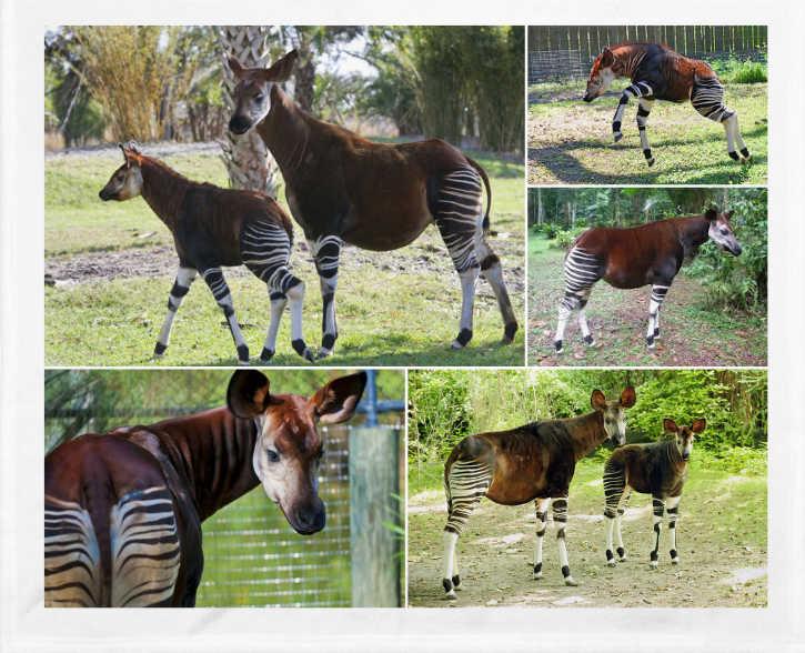El okapi