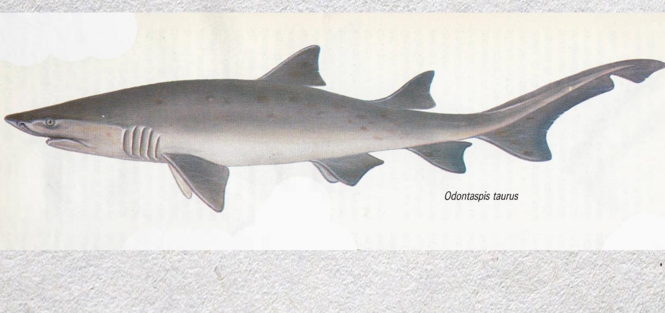 El tiburón Odontaspis taurus