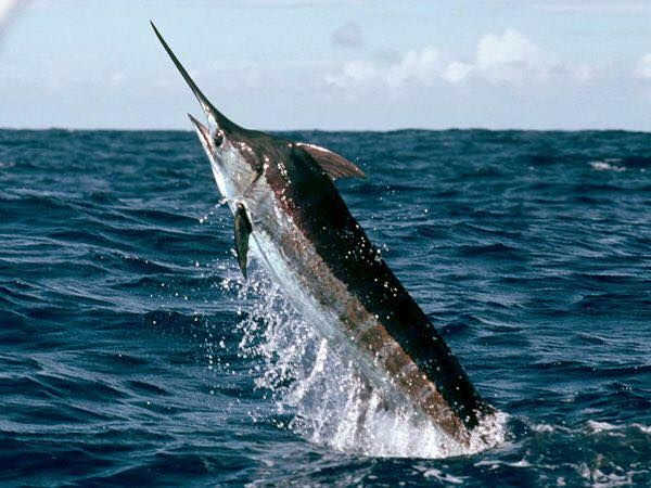 Marlin (Istiophoridae)