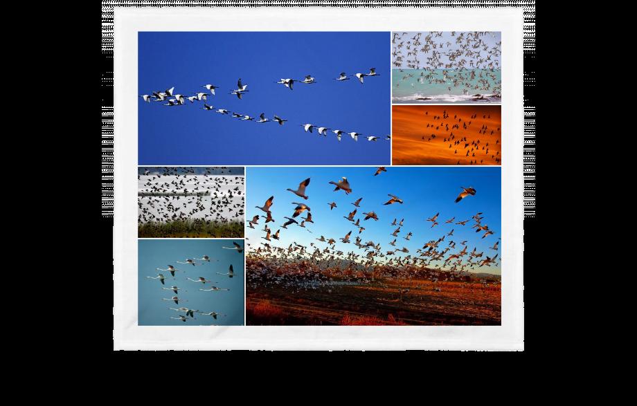 Migracion de las aves