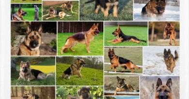Pastor alemán, el perro policía