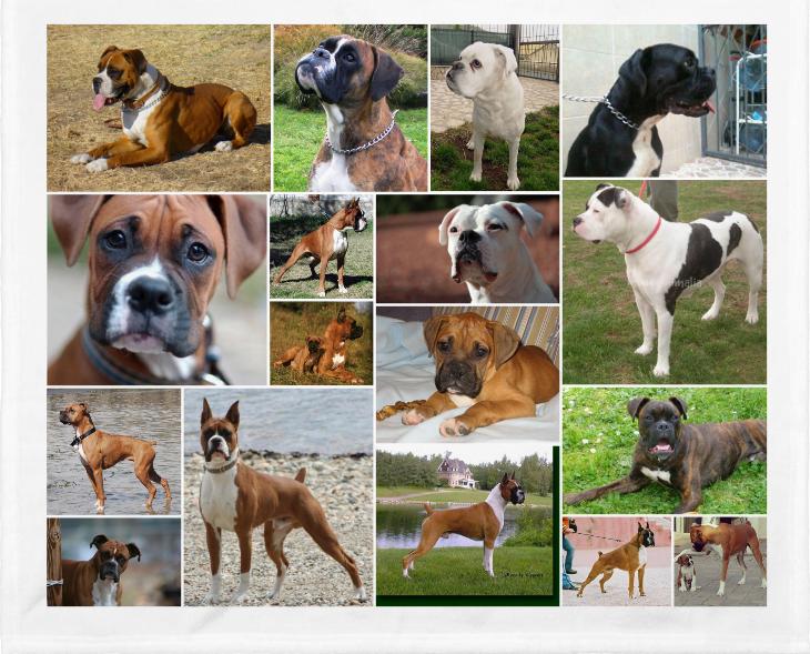 los Perros Bóxer y sus características