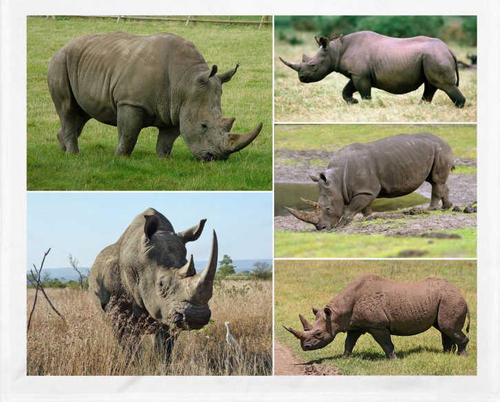 rinocerontes de Java