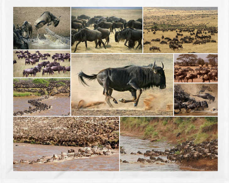 Migraciones de los ñus