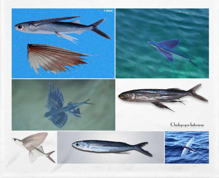 Pez volador o Cheilopogon heterurus