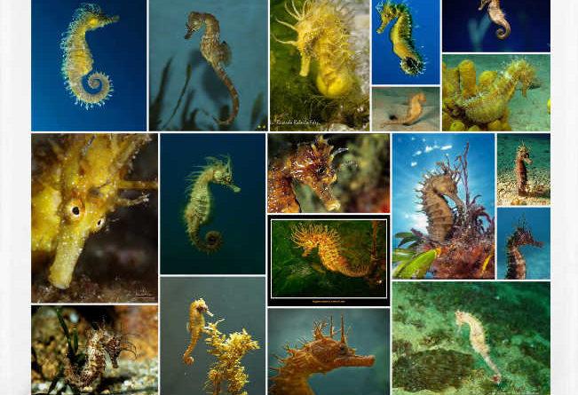 Caballitos de mar o Hippocampus ramulosus