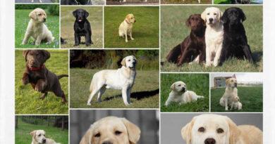 Características del Labrador Retriever