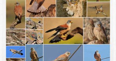 Cernícalo primilla o Falco naumanni