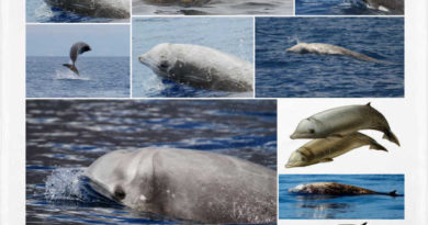 Delfín de Cuvier o Ziphius cavirostris