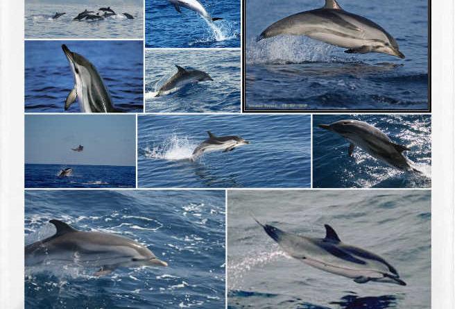 Delfín listado o Stenella coeruleoalba