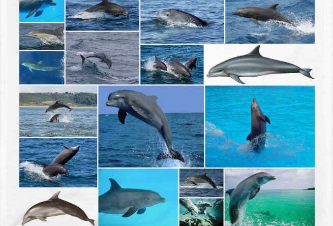 Delfín mular o Tursiops truncatus