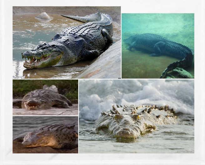 El cocodrilo de mar