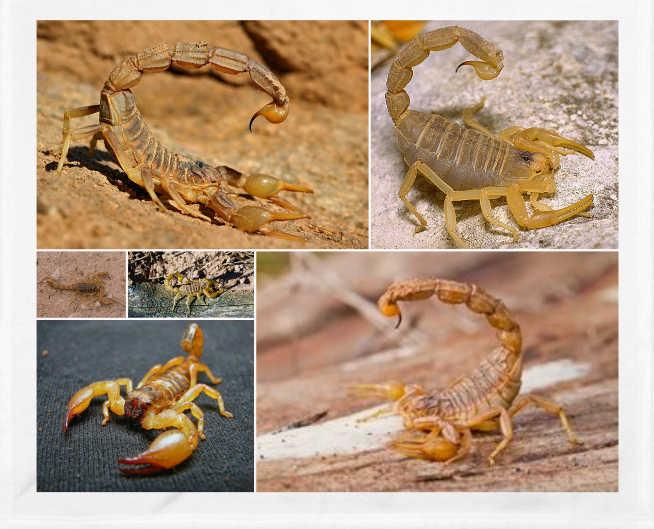 El escorpión amarillo