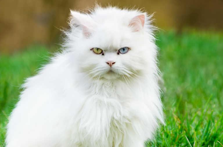 El gato Angora