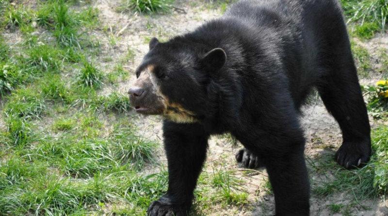 El oso de anteojos