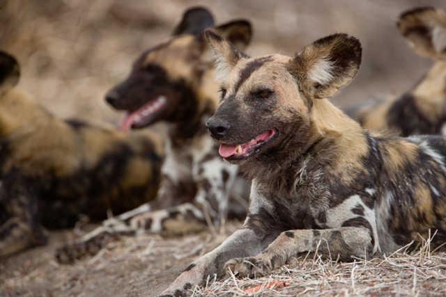 El perro salvaje africano