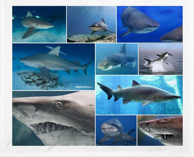 El tiburon toro