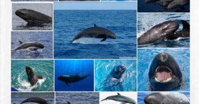 FALSA ORCA o Pseudorca crassidens