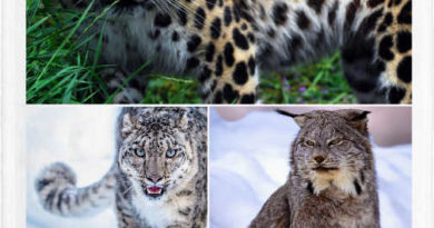 Gatos en peligro de extinción