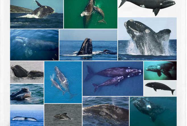 La ballena franca o Eubalaena glacialis
