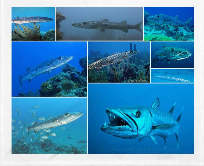 La gran barracuda