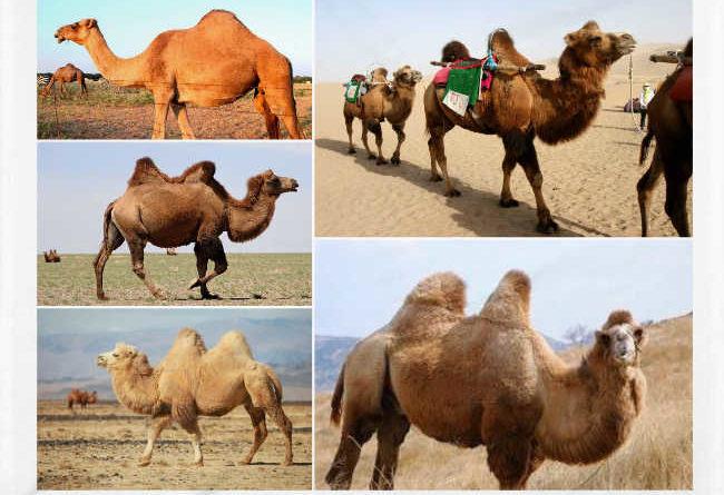 Los camellos