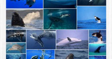 caracteristicas de los cetaceos