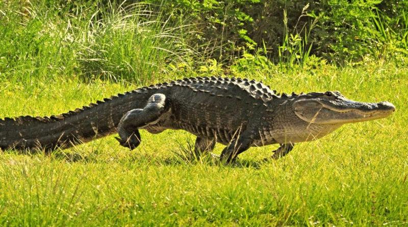 El cocodrilo cubano (rocodylus rhombifer)