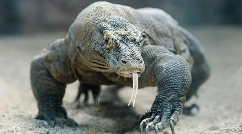 Los dragones de Komodo