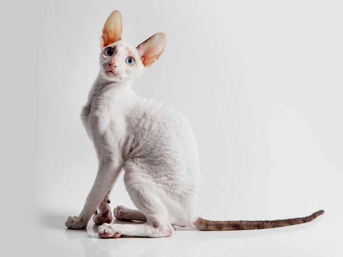 gato REX