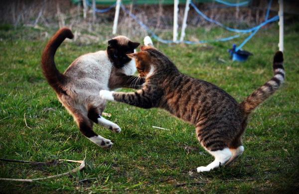 gato en combate