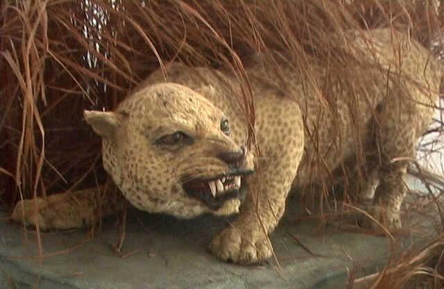 El leopardo de Zanzíbar