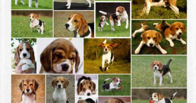 los Beagle
